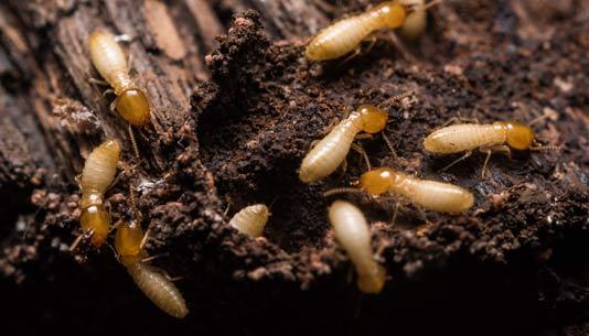 Termitas en la madera