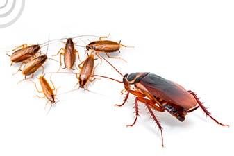 diferencia entre cucaracha americana y alemana