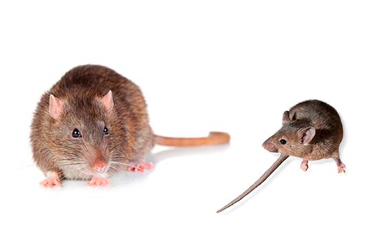 rata comun raton domestico