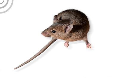 raton domestico