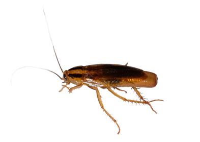 cucaracha alemana hembra con ooteca