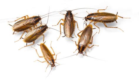 grupo de cucarachas alemanas