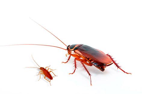 cucaracha alemana y americana